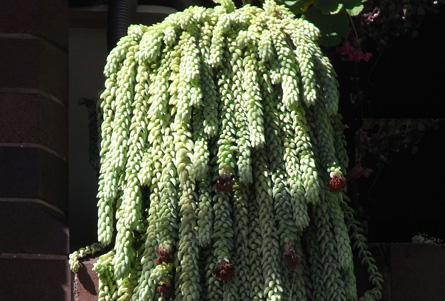 Vertical plant use plant this for Narrow trees for tight spaces