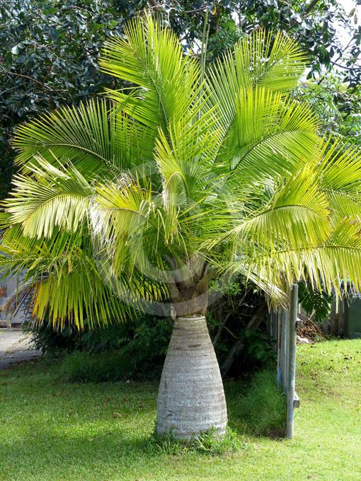 Hyophorbe Lagenicaulis Bottle Palm Pig Nut Palm