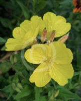 Oenothera fruticosa Yellow River