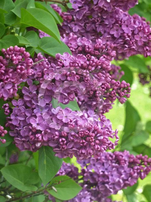 syringa vulgaris common lilac information photos. Black Bedroom Furniture Sets. Home Design Ideas