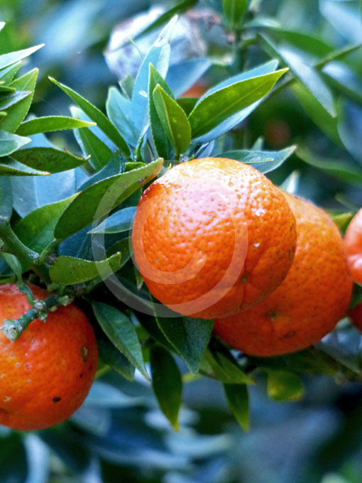 Citrus aurantium myrtifolia chinotto chinotto for Citrus myrtifolia