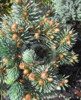 Picea pungens Blue Pearl