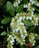 Pieris japonica Temple Bells