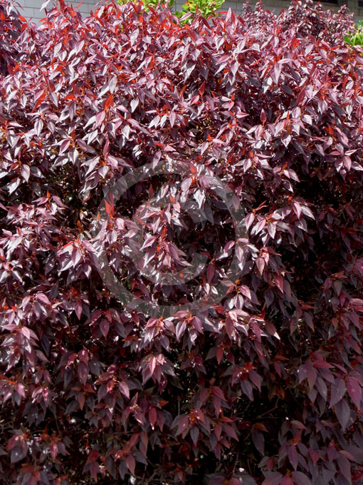 Acalypha Inferno Inferno Copper Leaf Information Photos