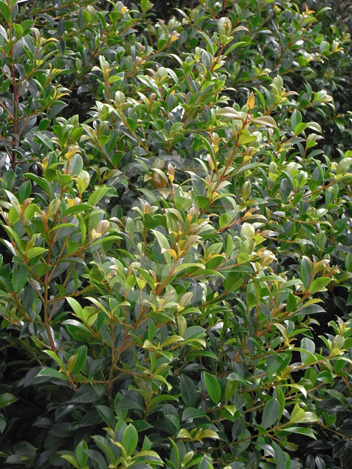 Syzygium australe select form select scrub cherry lilly for Lilly pilly shrub