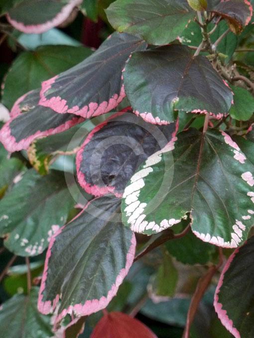 Acalypha Wilkesiana Obovata Obovate Copper Leaf Fire Dragon