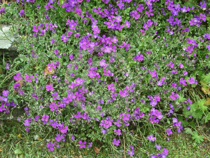 Aubrieta Deltoidea Purple Rock Cress Lilac Bush